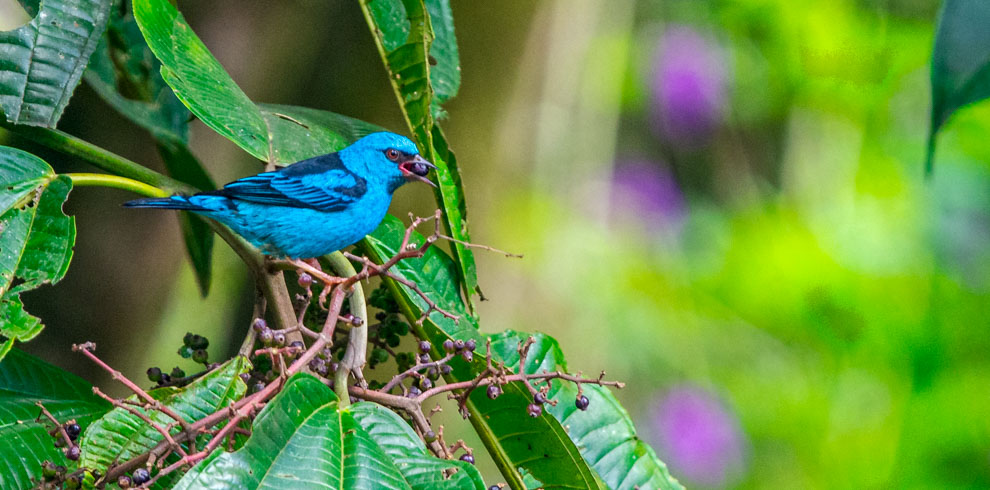 Blue Dacnis in the Birding North Peru