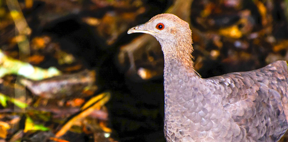 Cinereous Tinamou Birding North Peru tour