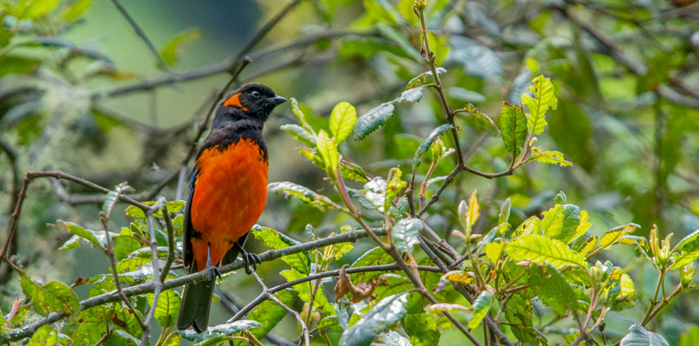 Crimson-bellied Mountain-tanager