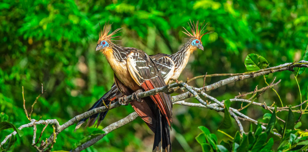 Hoatzin – Green-Tours-Peru