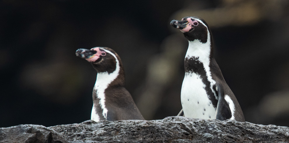Humbolt Penguins – Green-Tours-Peru