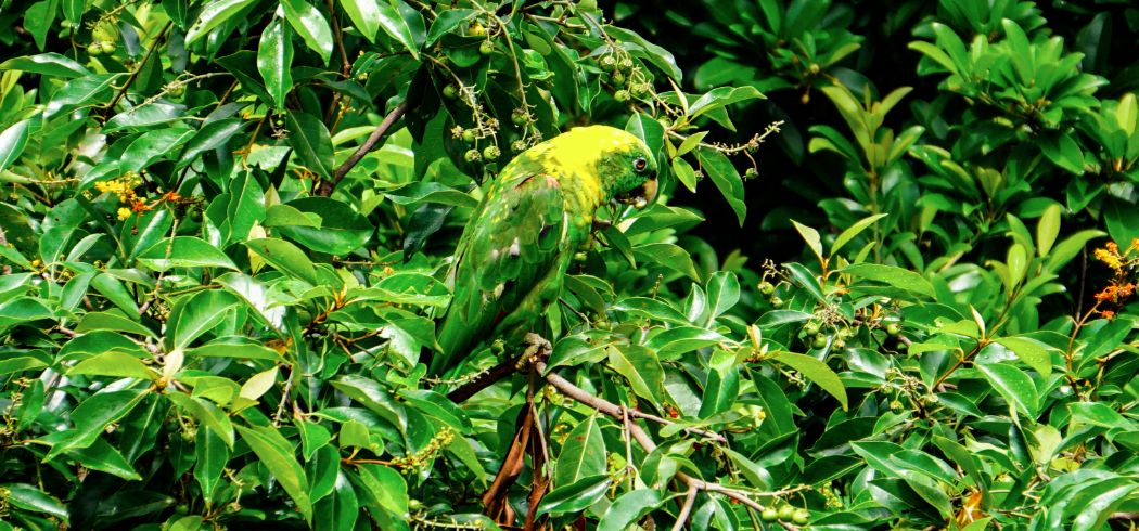BAy Islands_Yellow-naped Parrot