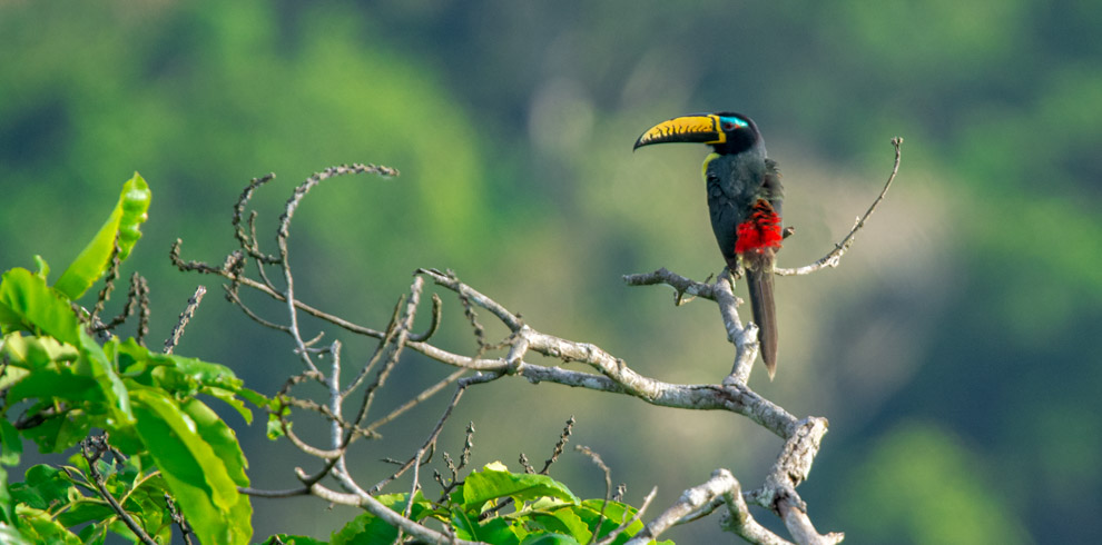 Lettered Aracari – Green-Tours-Peru
