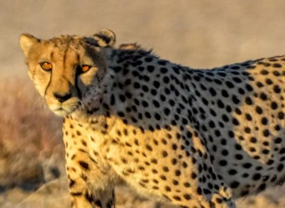 Namibia Mammals, Cheetahs seen on a Namibia Mammals & Wildlife Safari Tour