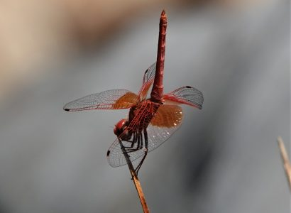 Dragonfly Holiday in Extremadura, Spain- Orange-winged Dropwing
