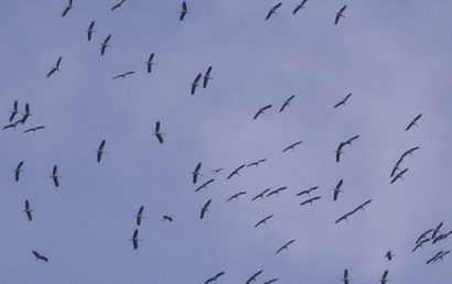 Migrating birds, Black-sea coast, Birding Bulgaria
