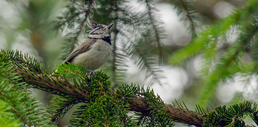 Crested Tit in Rhodopes Bulgaria