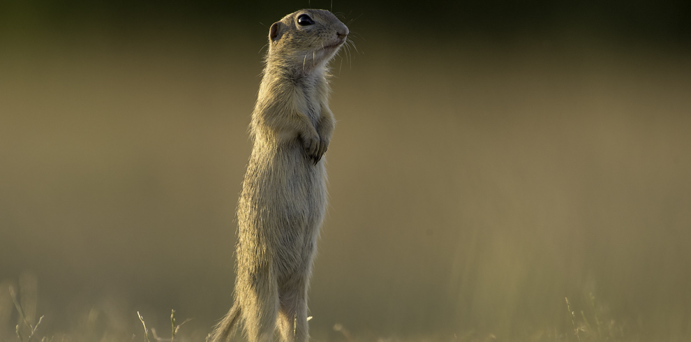 Ground squirrel in Danube river area, Bulgaria