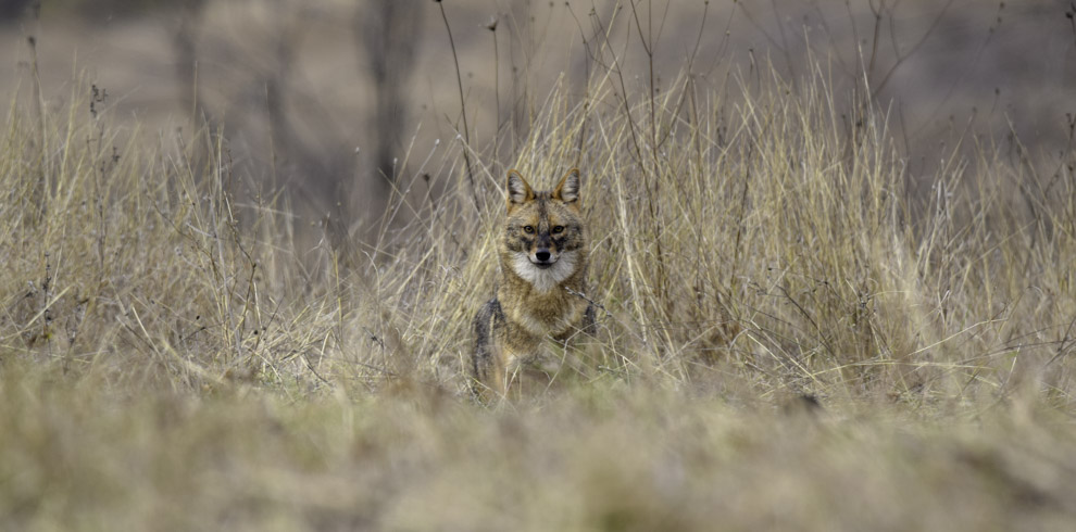 Golden jackal in Danube river area, Pelican birding lodge