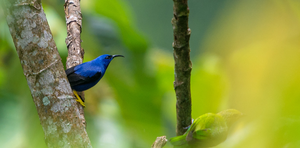 Purple Honeycreeper – Green-Tours-Peru