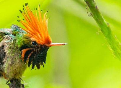 peru photo tour - Rufous-crested Coquette