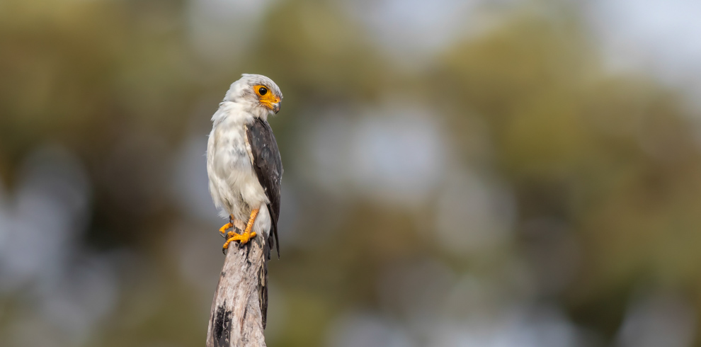 White-rumped Pygmy Falcon