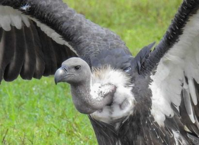 Birding Colombia, Critical Cambodia - White Rumped Vulture