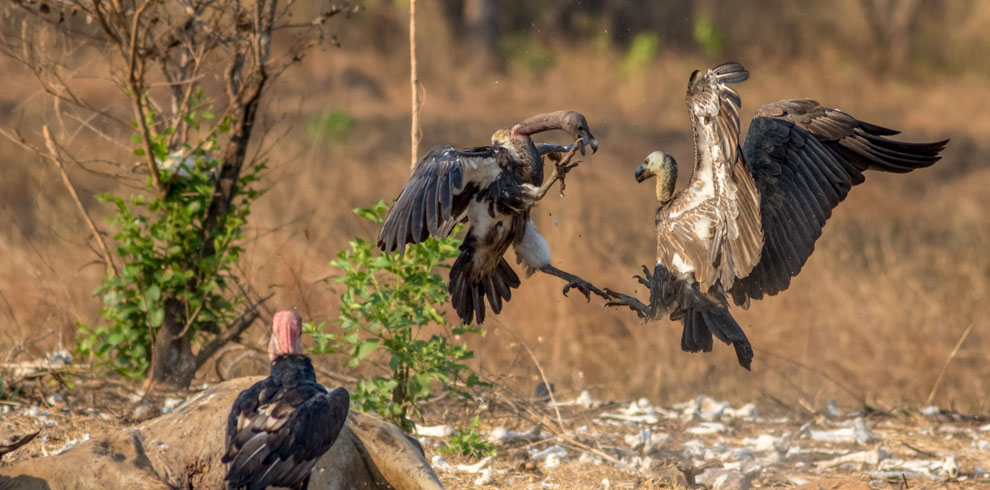 White-rumped Vulture fighting