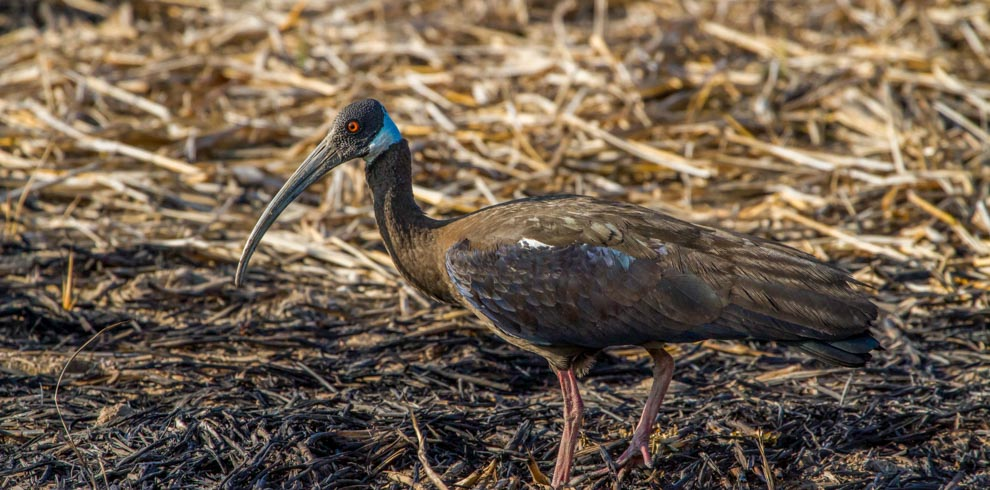 White-shoudered Ibis-Tmatboey