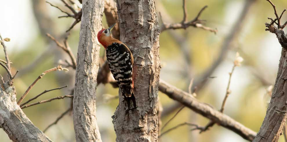 Rufous bellied Woodpecker