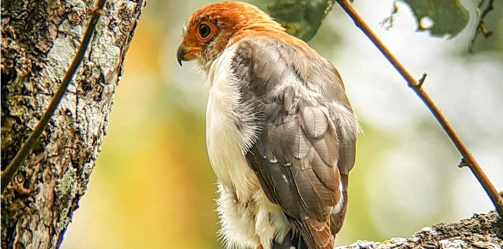 White rumped Pygmy Falcon