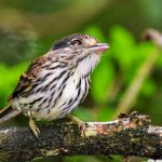 African Broadbill perched in sand forest at Royal Thonga Safari Lodge