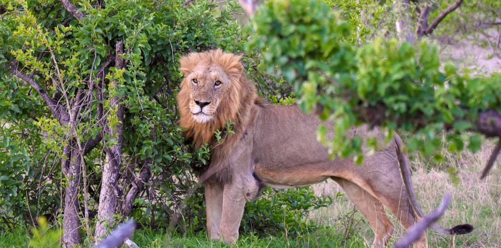 Male lion marking territory in Balule Private Game Reserve