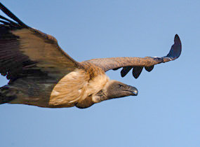 White-backed Vulture soaring over the Olifants River