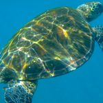 Think Galapagos – Sea Turtle