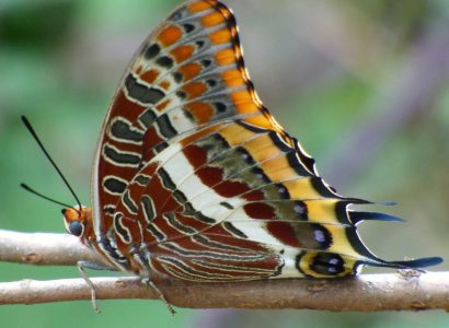 Two-tailed Pasha underwing