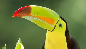 Birding Costa Rica - Keel Billed Toucan