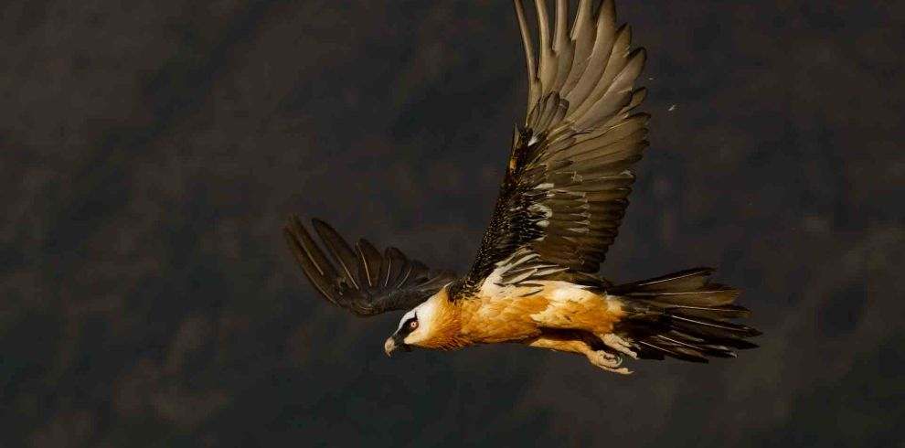 Eth-Adv – Lammergayer 7 day tour and birdwatching tour