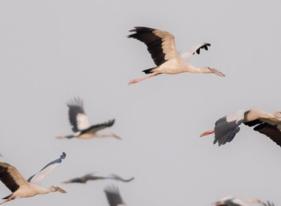 cambodia bird watching - Asian Openbill