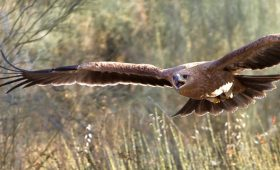 Bird Conservation in Spain, Young Spanish Imperial Eagle