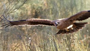 Young Spanish Imperial Eagle part of Bird Conservation in Spain