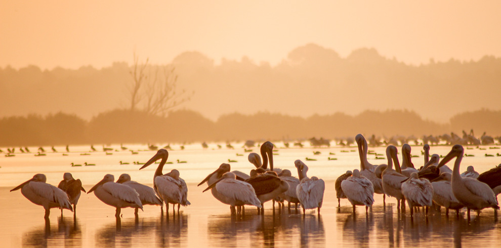 Great white pelicans in the dusk