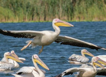 Birding Romania for great white pelicans