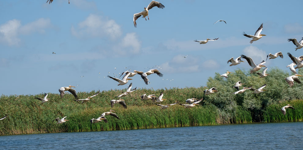 Bunica Maria – Great white pelicans flock taking off