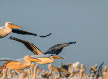 birding in Romania - Great white pelicans in the dusk