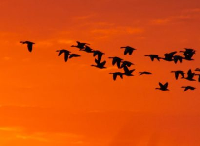 bird watching Romania - Sunrise with graylag gooses