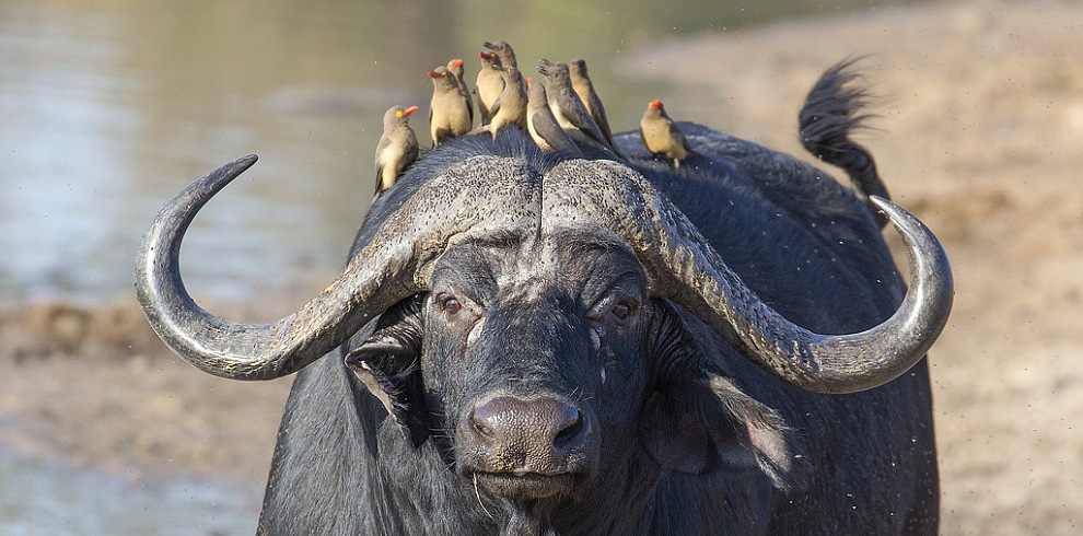 Buffalo and Oxpeckers, Kruger