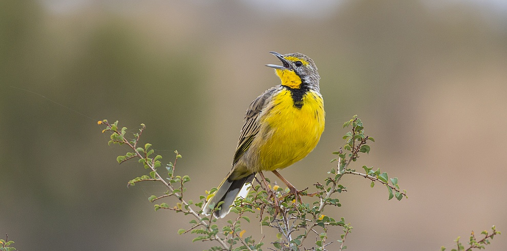 Yellow-throated Longclaw, Cape Vidal