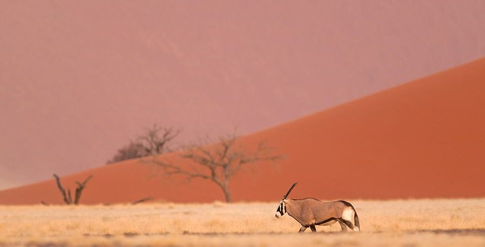 Oryx in the Namib Desert, Namibia, The Naturalist Collection