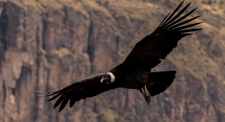 Condor flying Chonta