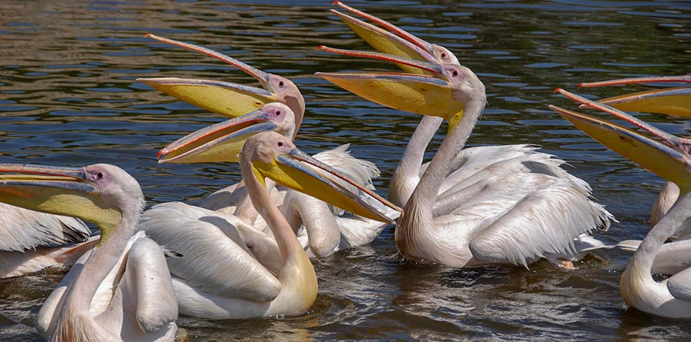 Southern North Pelicans