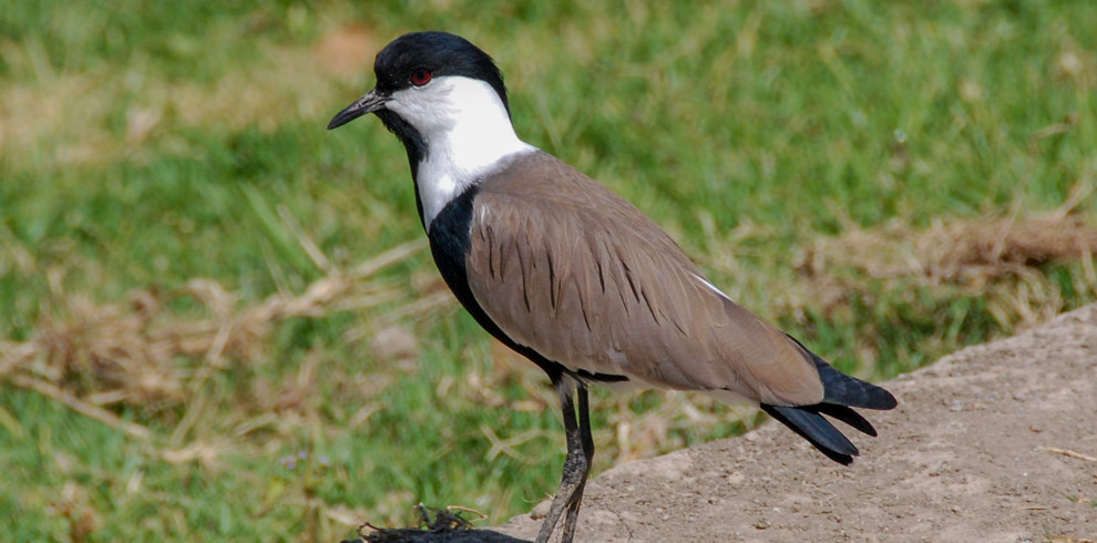 Southern Spur Winged plover