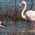 Flamingo and stilts