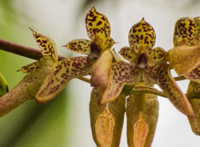 Colombia Wild Orchids