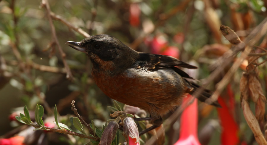black-throated flowerpiercer at Balcon del diablo