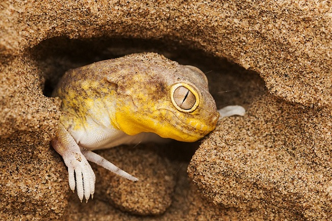 Koch's Barking Gecko in Namibia The Naturalist Collection