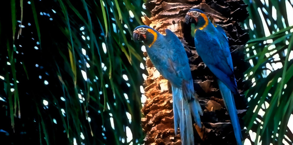 Blue Throated Macaw Bolivia