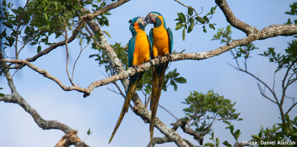 Blue-Throated-Macaws-Daniel-Alarcon-Bolivia-Naturally