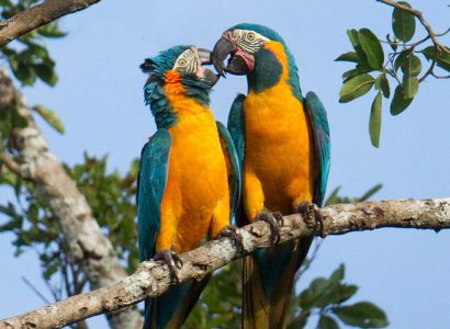 Bolivian macaw tour seeking Blue Throated Macaws