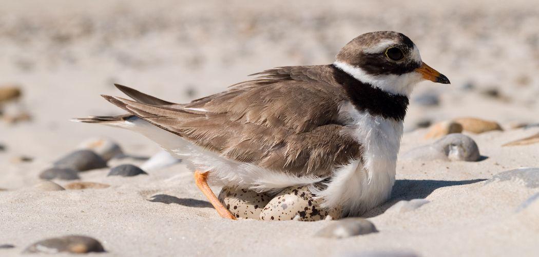 Common Ringed Plover incubating eggs